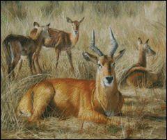 Puku Antelope