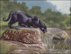 Black Panther and Jaguar