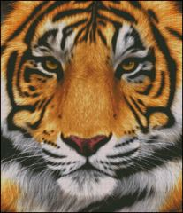 Orange Tiger Face Portrait