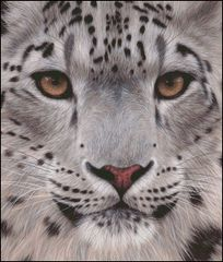 Snow Leopard Face Portrait