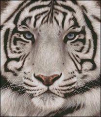 White Tiger Face Portrait