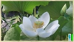 Milk White Lotus