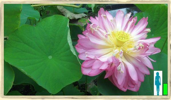 Hindu Double Lotus