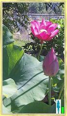 Red Tulip Lotus