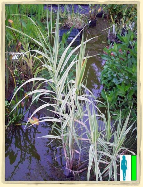 Variegated Reed Grass
