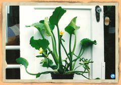 Velvet Leaf Plant