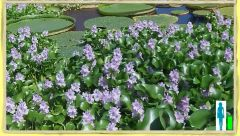 Water Hyacinths [Suggest Buying Ten or less Plants]