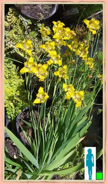 Yellow Water Orchids