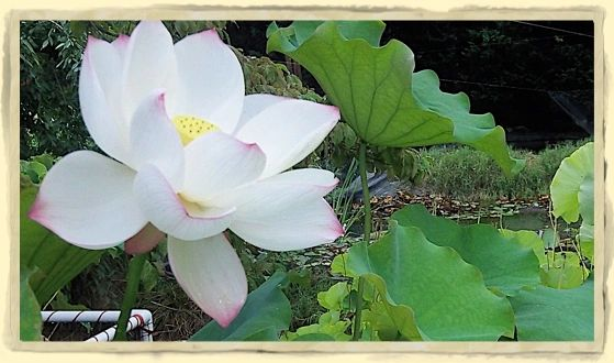 Tine Lotus
