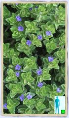 Bacopa Lemon Blue