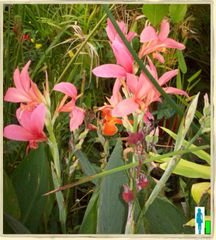 Pink Water Cannas
