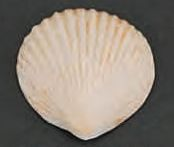 Clam Seashells Brown Tint 2 inch Gumpaste 8 Piece