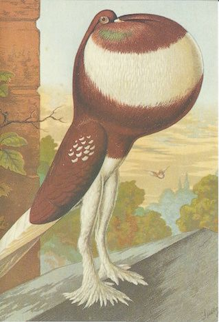 Red Pied Pouter Cock. Vintage Illustration Bird Greeting Card