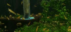 Orange Freshwater Neocaridina Shrimp