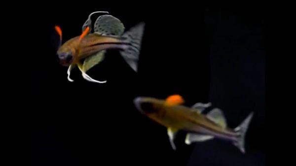 Pseudomugil Aru II Pair - Small, Rare Rainbowfish