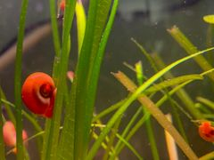 10 Ramshorn Snails