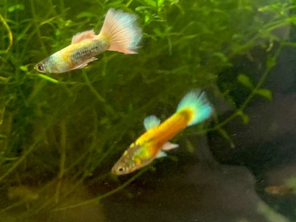 Fire & Ice Platinum Guppy Pair
