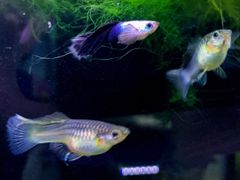 Dumbo Ear Panda Guppy Pair