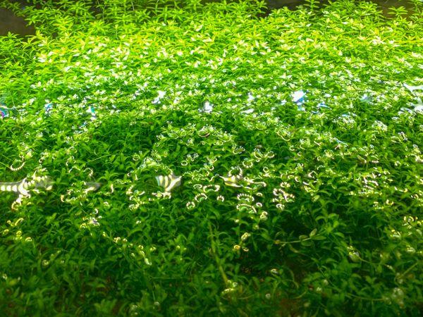 Pearl Weed