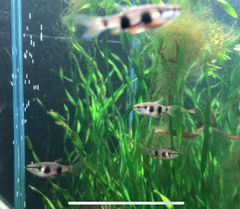 Banded Pencilfish Pyrrhulina Vittata Hard to Find