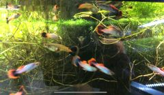 Volcano Guppies Exclusive LRB Only
