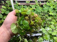 Marsh Clump Pennywort