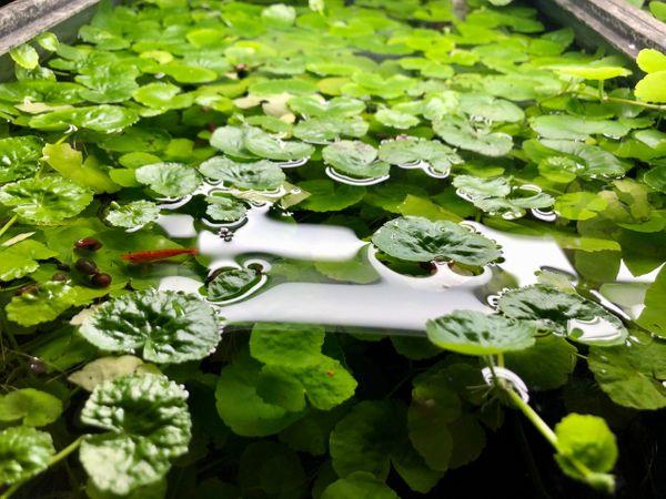 Brazilian Pennywort Hydrocotyle Leucocephala