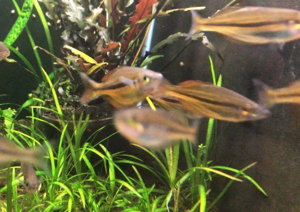 Melanotaenia Ammeri Rainbowfish