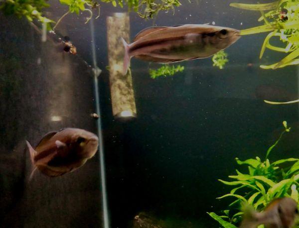 Rare! Kali Rum Melanotaenia Rainbowfish
