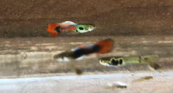 Rare Mix Pond Male Guppy