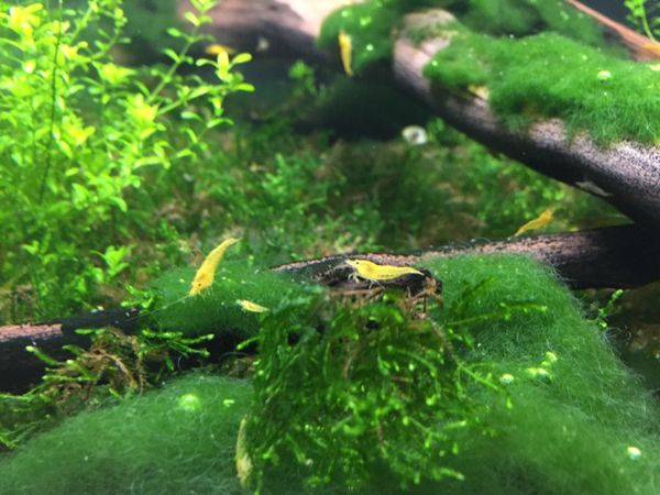 Buy Freshwater Aquarium shrimp for sale Yellow Neocaridina ...Freshwater Shrimp For Sale