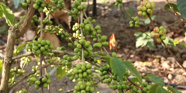 Arabica Kilimanjaro Coffee bean growing in Mount Kilimanjaro Volcanic soil in Tanzania Africa