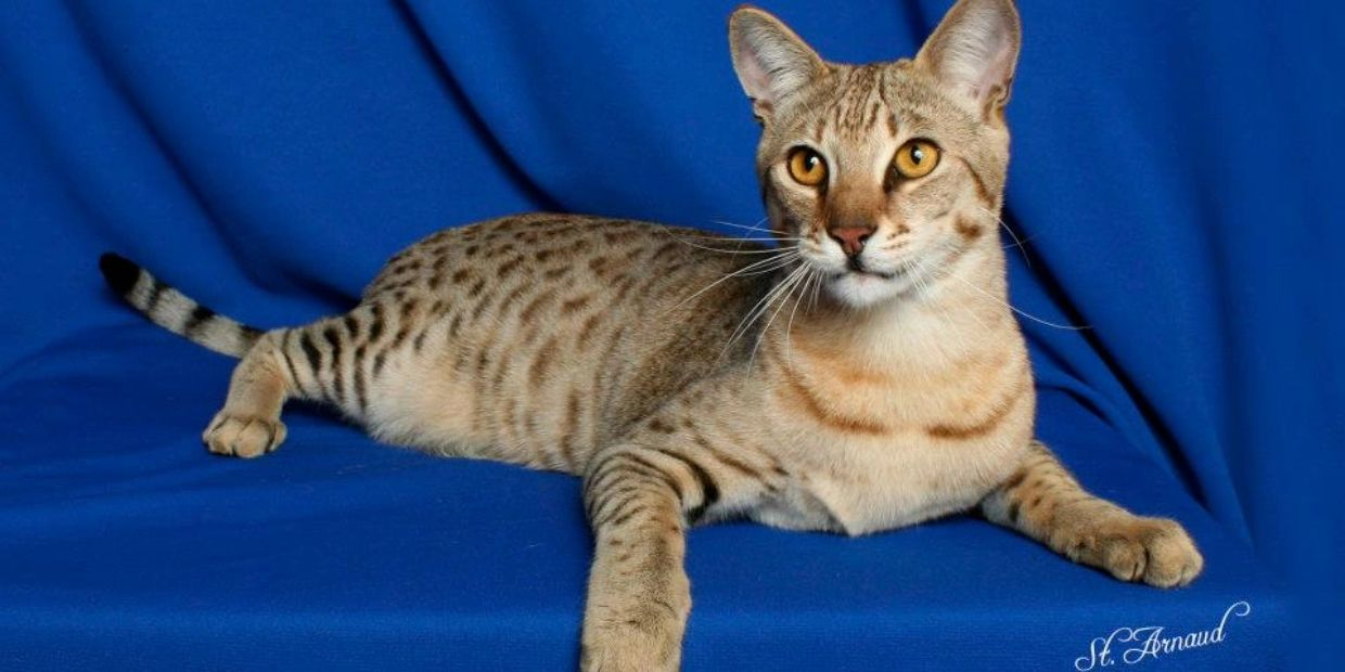 From one of my first litters as a Savannah cat breeder,this F3 Savannah was born 6/13/11 and owns us