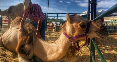 Camel Training  with consistency, consideration and care.
