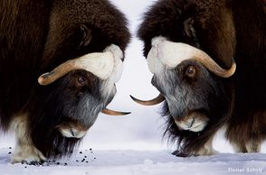Florian Shultz took these extraordinary pictures of Arctic Musk Ox