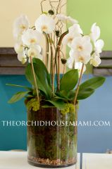 Four White Phalaenopsis Orchids