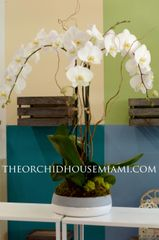 Three White Phaleanopsis Orchids in a Round Ceramic Vase
