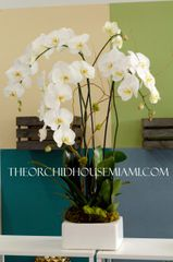 Three White Phaleanopsis Orchids