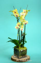 Two Yellow Phalaenopsis Orchid in an Square Glass Container