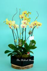 Three Yellow Phalaenopsis Orchid in a Square Container