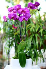 Three Purple Phalaenopsis Orchids in a White Square Container