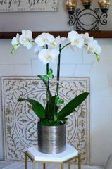 Two White Phalaenopsis Orchids in a Silver Vase