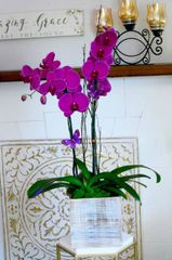 Two Purple Phalaenopsis Orchids in an Square Wood Container