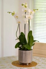 Three White Phalanopsis Orchids in a Gold and Silver Ceramic Container