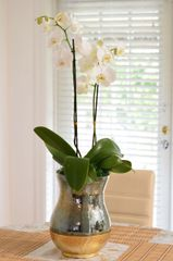 Two White Phalaenopsis Orchids in a Glass Gold Container