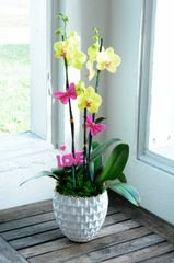 Yellow Orchid Arrangement in a White Ceramic Vase