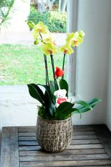 Two Yellow Phalanopsis Orchids in a Gold Ceramic Container