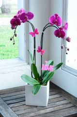 Two Orchid Phalaenopsis Orchid in a Ceramic Container