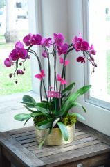 Purple Phalaenopsis Orchids in a Gold Ceramic Container