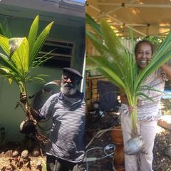 Tropical Fruit Plants Baby Coconut Tree Plant